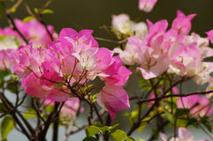Bougainvillaea flower Stock Image