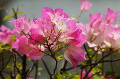 Bougainvillaea flower Royalty Free Stock Photos