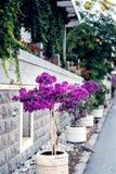 Bougainvillaea near with stone wall Royalty Free Stock Photo