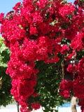 Bougainvillaea red mediterranean red flowers bush Royalty Free Stock Photo