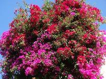 Bougainvillaea red mediterranean red flowers bush Stock Photo
