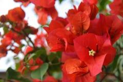 Bougainvillas rojo Foto de archivo libre de regalías