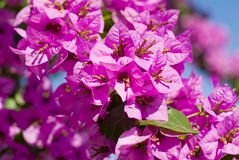 Bougainville Royalty Free Stock Photography