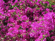 Bougainville Fotos de Stock Royalty Free