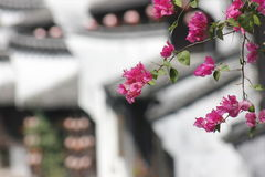 Bougainville blomma som blomstrar under solen Royaltyfri Foto