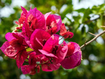 Bougainville. A plant will always resemble me holidays. Its vibrant colour, its strong scent make it so memorable Stock Images