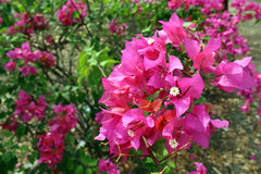 Bougainville Flower. Close-up of a Bougainvillea Stock Photos
