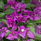 Bougainville flowers. Macro of purple bougainvillea flwoers in the sun stock photography