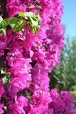 Bougainville. Pink flowers in tropical garden Stock Images
