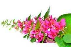 Bougainvillea ανθίσματος. Στοκ Φωτογραφία