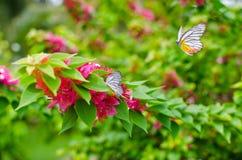 Bougainvillea με την πεταλούδα Στοκ Εικόνες