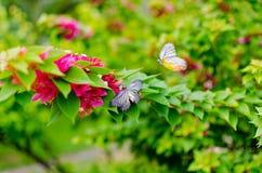 Bougainvillea με την πεταλούδα Στοκ φωτογραφία με δικαίωμα ελεύθερης χρήσης