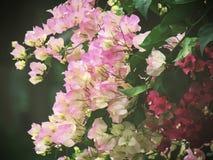 Bougainvillea ρόδινο και λευκό που φυτεύεται από κοινού Άνθισμα στο δέντρο Πολύχρωμο bougainvillea στον κήπο Στοκ Εικόνες