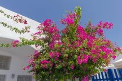 Bougainvillea σε Santorini Στοκ εικόνες με δικαίωμα ελεύθερης χρήσης
