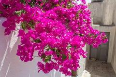 Bougainvillea σε Santorini Στοκ Εικόνες