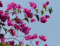 Bougainvillea στην άνθιση σε έναν κήπο ξενοδοχείων Στοκ Φωτογραφία