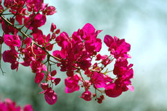 Bougainvillea 01. Bougainvillea growing wild in Zimbabwe. Picture taken with a aoft out-of-focus background Stock Image