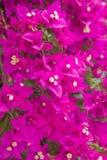 Bougainvillea. Bright magenta bougainvillea vertical background royalty free stock photo