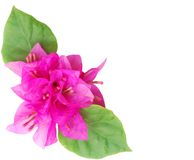 Bougainvillea Stock Foto