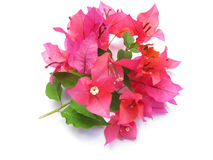 Free Bougainvillea Royalty Free Stock Images - 17243319