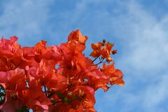 Bougainvillea fotografia de stock royalty free