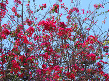 Bougainvillea. Beautiful bright pink tropical bougainvillea flowers agains the sky Stock Images