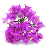 Bougainvillea Fotos de Stock Royalty Free