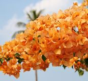 Bougainvillea. Close of up tropical orange Bougainvillea with deep blue sky and palm in background Stock Photos