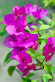 Bougainvillea. A branch of blooming purple bougainvillea on green leafy background Royalty Free Stock Photo
