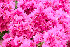 Bougainvillea. Flowers in a garden Royalty Free Stock Photography
