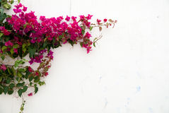 Bougainvillea royalty-vrije stock foto