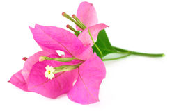 Bougainvillea. Flower over white background royalty free stock photo