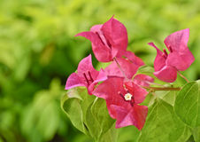 Bougainvillea Stock Photography