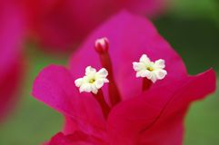 Bougainvillea Royalty Free Stock Photos