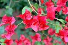 Bougainvillea. Bright pink Bougainvillea flowers in macro Stock Images