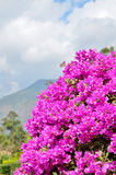 Bougainvillea Foto de Stock Royalty Free