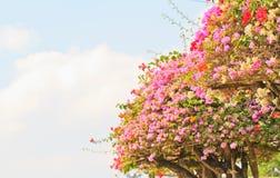 Bougainvillea Stock Fotografie
