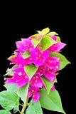 Bougainvillea royaltyfri foto