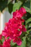 Bougainvillea Royalty-vrije Stock Afbeeldingen