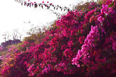 Bougainvillea Obraz Royalty Free