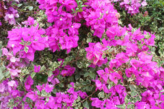 Bougainvillea obraz stock