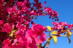 Bougainvillea. Flower against a blue sky Stock Photo