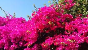 bougainvillea Fotografia de Stock Royalty Free
