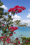 Bougainvillea. Pink bougainvillea in the south of Martinique Royalty Free Stock Image