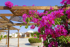 Bougainvillea in Africa Royalty Free Stock Photo