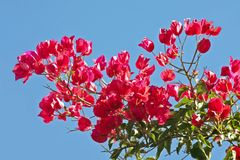 Bougainvillea against a blue sky. Red bougainvillea against a blue sky Royalty Free Stock Photography