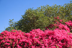 Bougainvillea against deep blue sky Royalty Free Stock Images