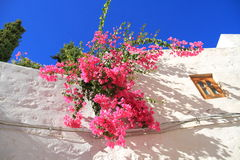 Greece/Patmos: Bougainvillea Against White Wall Royalty Free Stock Image