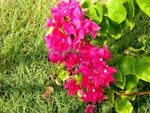 Bougainvillea (B. spectabilis) Stock Photo