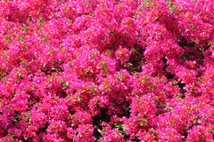 Bougainvillea. Backgrund of fully bloomed Bougainvillea royalty free stock image